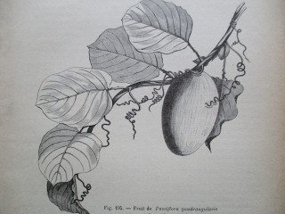 Fruit de Passiflora quadrangularis