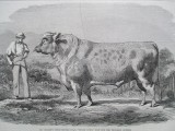 "Mr Bolden's short-horned bull, ""Grand Duke"""
