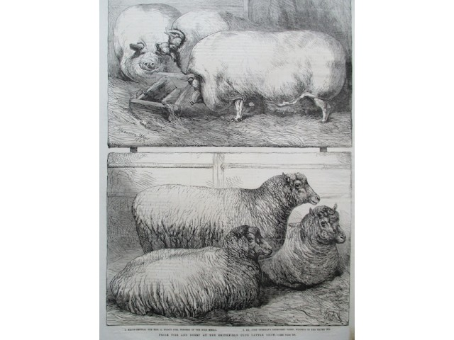 Prize pigs and sheep, cochons et moutons