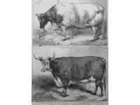 Prize Cattle at the Smithfield Club Cattle Show ( vaches)